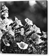 Mill Hill Inn Petunias Black And White Acrylic Print
