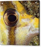 Milletseed Butterflyfish Acrylic Print