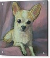 Millie, Chihuahua Acrylic Print