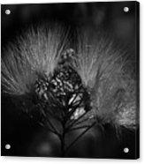 Mimosa Flowers Acrylic Print