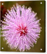 Mimosa Pudica Flower Acrylic Print