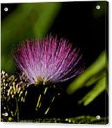 Mimosa Tree Bloom Acrylic Print