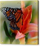 Mingle With A Monarch Acrylic Print
