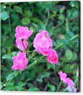 Mini Roses Acrylic Print