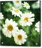 Mini Spring Daisy's Acrylic Print