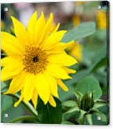 Mini Sunflower And Bud Acrylic Print