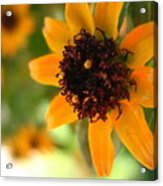 Mini Sunflower Acrylic Print