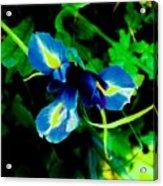 Miniature Blue Iris Acrylic Print