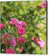 Miniature Fuchsia Roses Acrylic Print