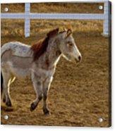 Miniature Horse Acrylic Print