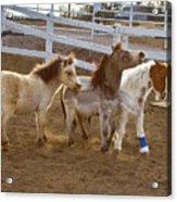 Miniature Horses Acrylic Print