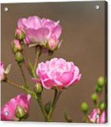 Miniature Pink Roses Acrylic Print