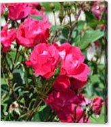 Miniature Roses Acrylic Print
