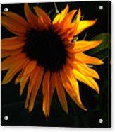 Miniature Sunflower Acrylic Print