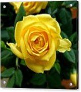 Miniature Yellow Rose Acrylic Print