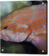 Miniatus Grouper - Cephalopholis Miniata Acrylic Print