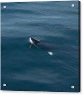 Minke Whale At Play Acrylic Print
