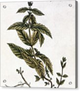Mint Plant, 1735 Acrylic Print