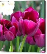 Miss Tulip Acrylic Print