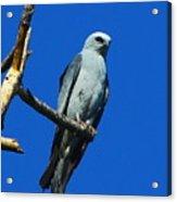 Mississippi Kite Acrylic Print
