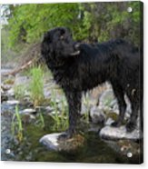 Mississippi River Posing Dog Acrylic Print