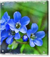 Missouri Wildflowers 5  - Polemonium Reptans -  Digital Paint 1 Acrylic Print
