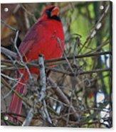 Mister Cardinal Acrylic Print