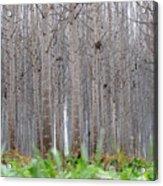 Mistery Poplars Woods  Acrylic Print
