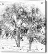 Mistletoe Tree In Black And  White Acrylic Print