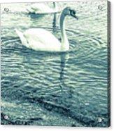 Misty Blue Swans Acrylic Print