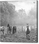 Misty Morning Horses Acrylic Print