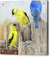 Misty Morning Meadow- Goldfinches And Bluebird Acrylic Print