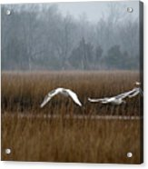 Misty Mute Swans Soaring South Jersey Wetlands Acrylic Print