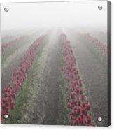 Misty Tulip Fields IIi Acrylic Print