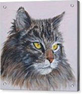 Mitze Maine Coon Cat Acrylic Print