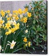 Mixed Daffodils Acrylic Print
