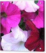 Mixed Petunias Acrylic Print