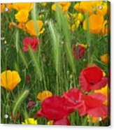 Mixed Poppies Acrylic Print
