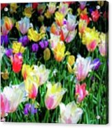 Mixed Tulips In Bloom  Acrylic Print