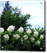 Mock Orange Blossoms Acrylic Print
