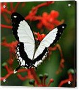 Mocker Swallowtail Acrylic Print