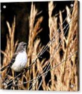 Mocking Bird 2 Acrylic Print
