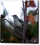 Mocking Bird Acrylic Print