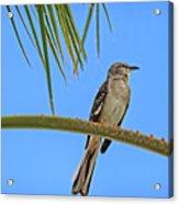 Mockingbird In A Palm Tree Acrylic Print