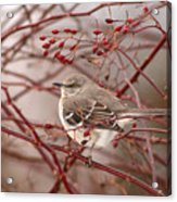 Mockingbird In Winter Rose Bush Acrylic Print