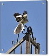 Mockingbird Landing On Fence Acrylic Print