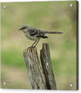 Perched On An Old Fence Acrylic Print