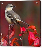 Mockingbird On Red Acrylic Print