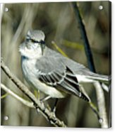 Mockingbird Side Glance Acrylic Print