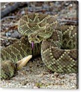 Mohave Green Rattlesnake Striking Position 3 Acrylic Print